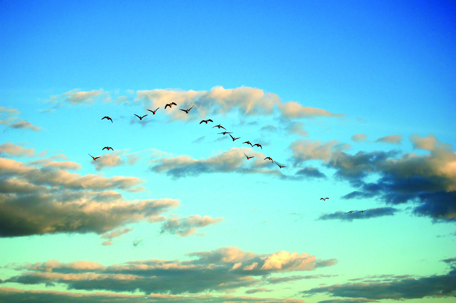 Hunting season wouldn't be the same without the annual migration of Canada Geese.